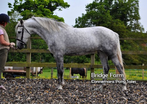 Bridge Farms Connemara Filly - Darcy