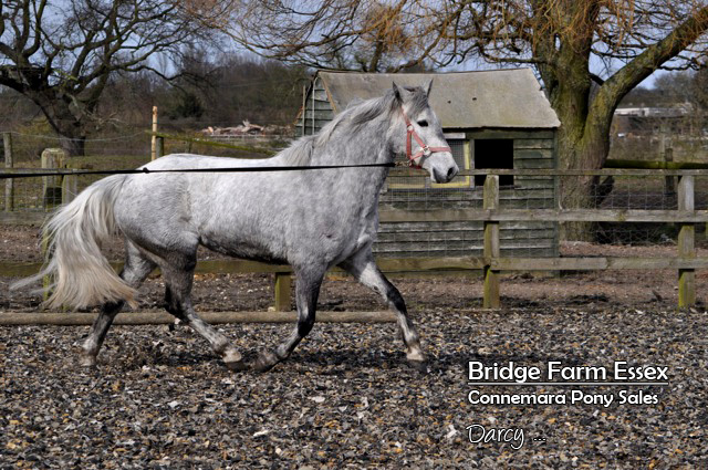 Bridge Farms Darcy on the lunge line