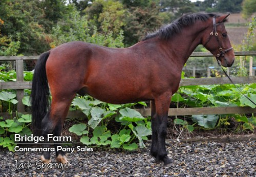 Bridge Farms Connemara Gelding Jack Sparrow - Standing profile Summer 2013