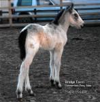 Bridge Farms Killaneen Bobby as a foal
