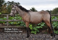 Bridge Farms Killaneen Bobby - Standing profile Summer 2013