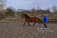 Bridge Farm Essex - Matilda Connemara Cross Bay Mare