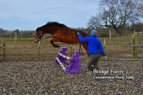 Bridge Farms Matilda - jumping