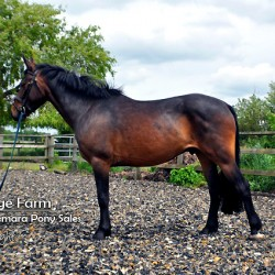 Bridge Farms Midnight - a Connemara Gelding Cross