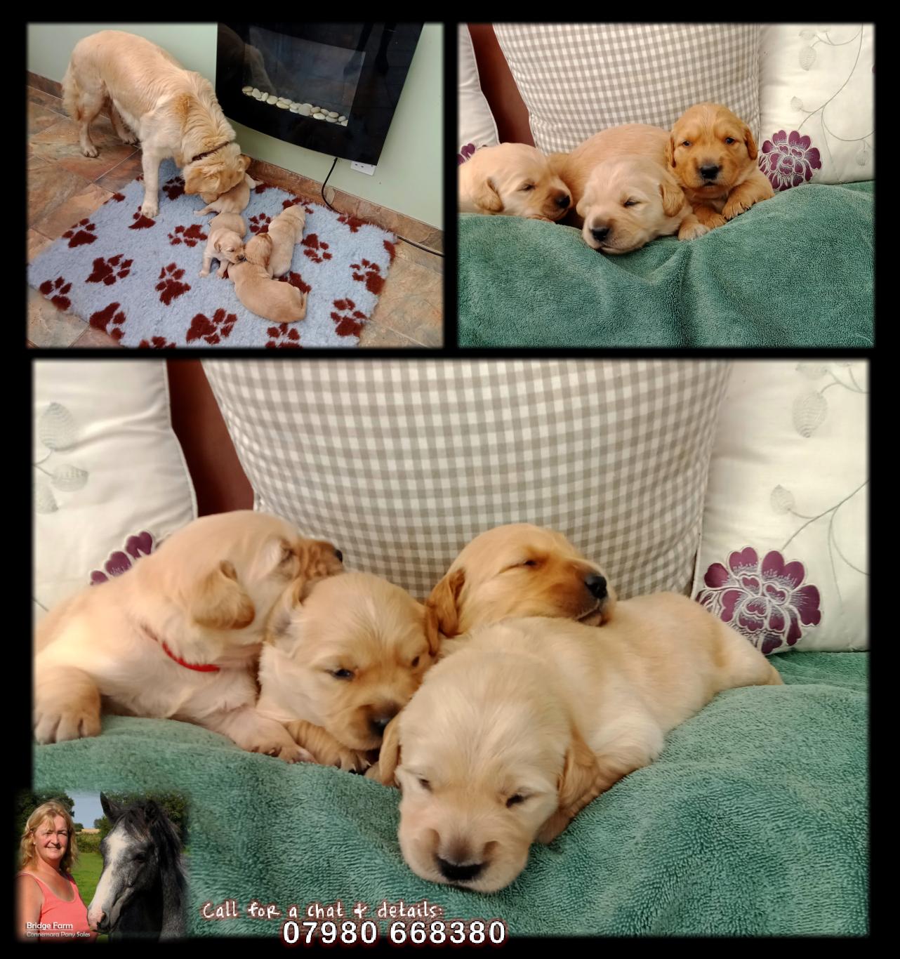 Bridge Farm - Golden Retriever Puppies Update Pic