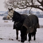 Connemara Ponies Japan and Dahlia in the Snow