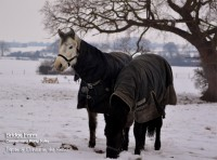 Connemara Ponies -Japan and Dahlia in the snow
