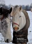 Bridge Farm Connemara Ponies in the Snow