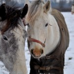 Connemara Ponies Axl and Silver in the Snow