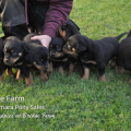 A Wonderful Litter of New Puppies from Roxy our Rottweiler