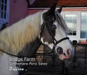 Bridge Farms Saffron - CHAPS registered coloured mare
