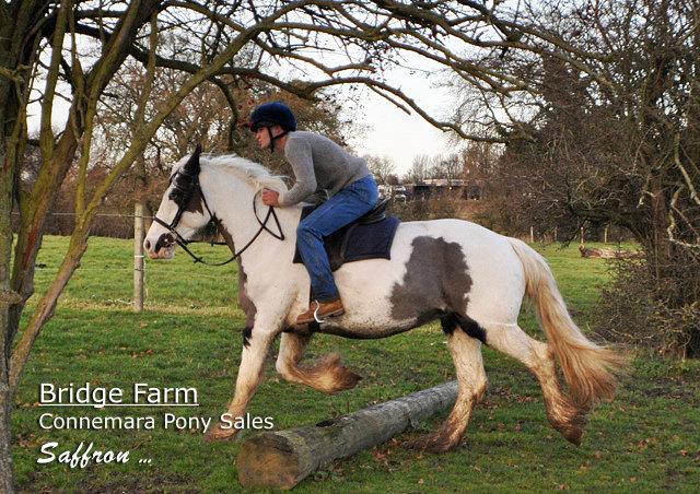 Coloured Mare Saffron - Bridge Farm Connemara Pony Sales