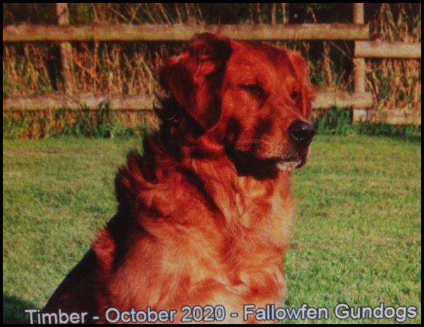 Fallow Fen Gun Dogs - Timber