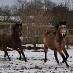 Connemara Yearlings Belle and Bobby in the Snow