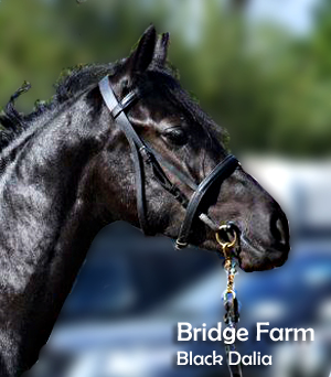 Connemara Pony Black Dalia at Bridge Farm Essex