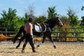 Connemara Pony Turbo working well on the flat