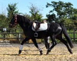 Schooling Turbo on the lunge line