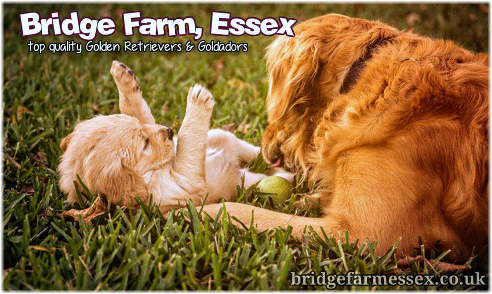 Bridge Farm Golden Retrievers