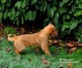 Inquisitive Fox Red Labrador Puppy at Bridge Farm