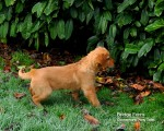 Fox Red puppy chasing the cate