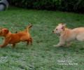 The new Bridge Farm fox red puppies are full of energy