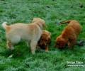 Bridge Farm Red Fox Puppies make you smile