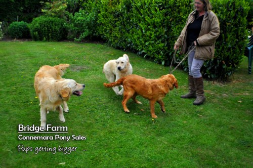 Bridge Farm puppies - growing fast and looking good