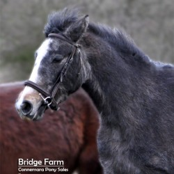 Bridge Farms Connemara Pony - Roswat Ranger