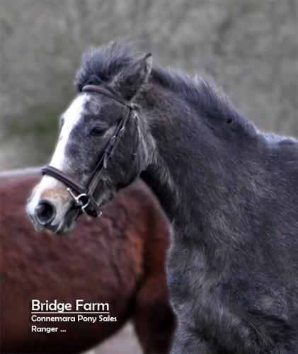 Bridge Farms Connemara Pony - Roswat Ranger