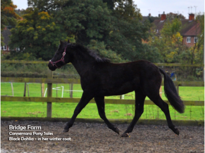 Bridge Farms Black Dahlia moving freely & just growing her winter coat