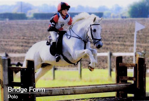 Polo - A Bridge Farm Connemara Pony