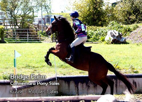 Connemara Gelding Roddy - Kizzy, Roddy's Dam competing