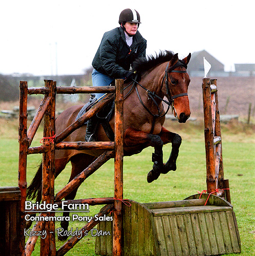 Connemara Gelding Roddy - Kizzy, Roddy's Dam competing