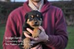 Roxy's new Rottweiler Puppies